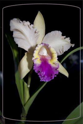 Orhchidee-Schönheit und Eleganz