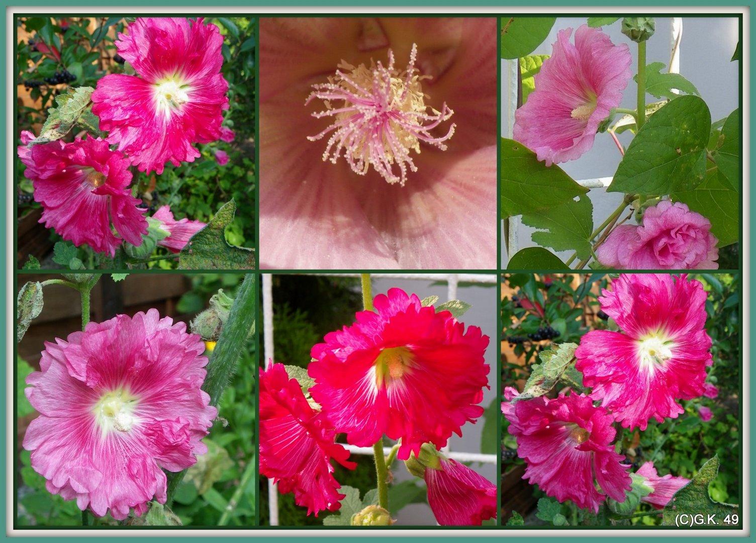 Orient - oder Stockrosen erblühen in diesem Jahr zum ersten Mal in unserem Garten !