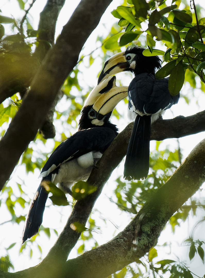 Oriental Pied Hornbill at Sungei Buloh ,Singapore.