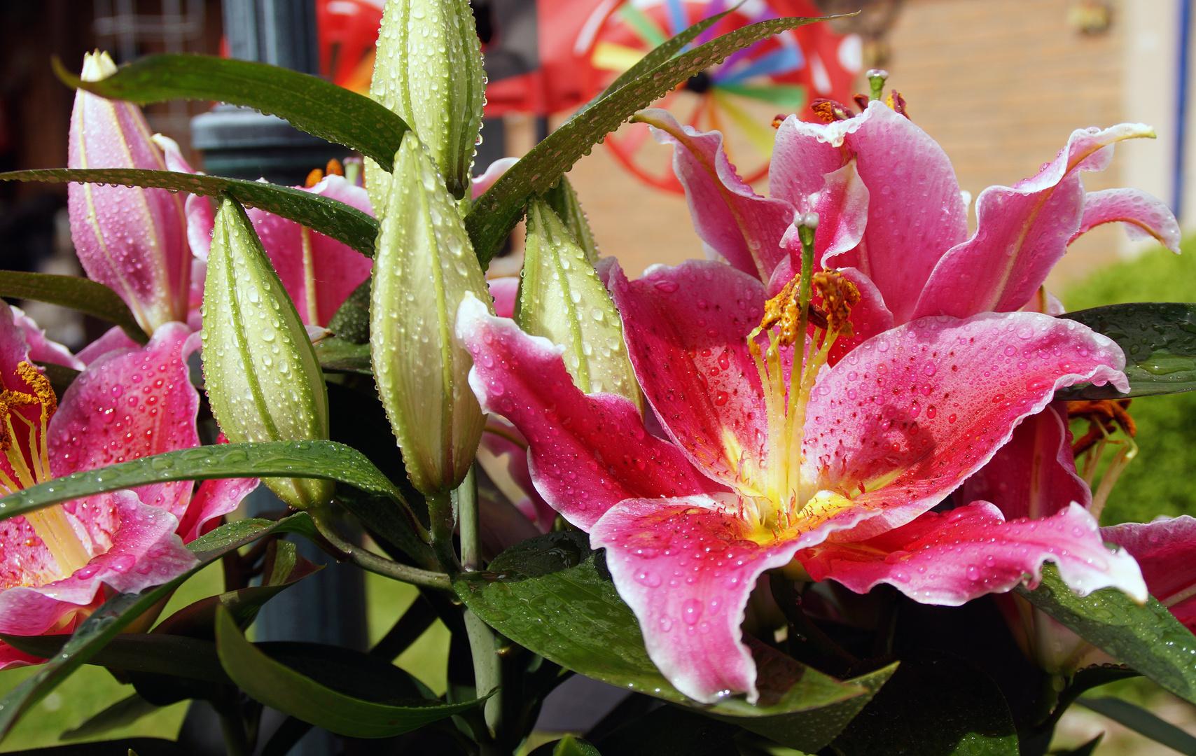 Orientalische Lilie