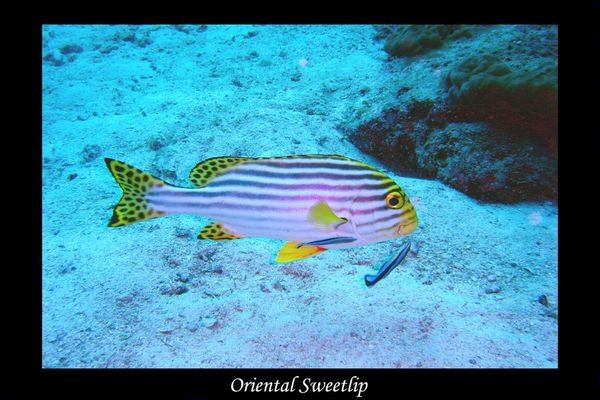 Orientalischer Süßlippenfisch