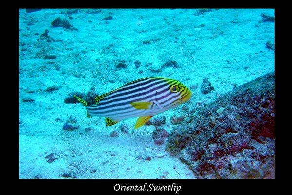 Orientalischer Süßlippenfisch II