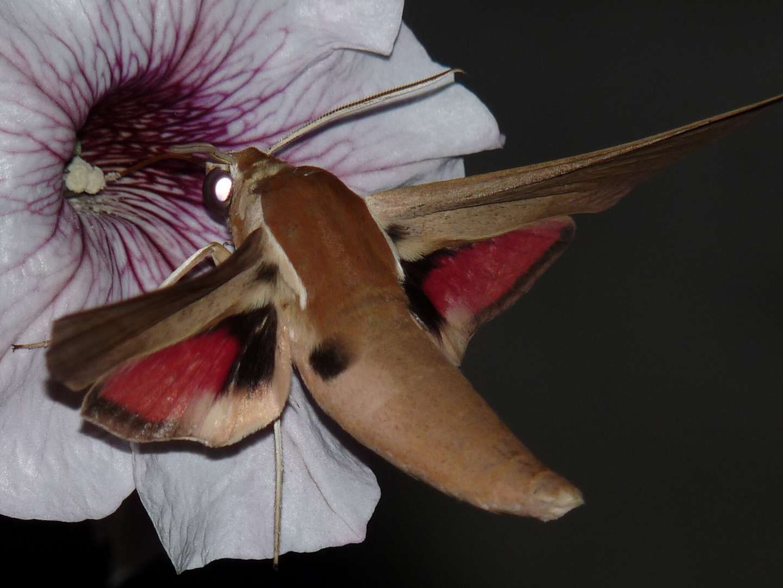 Orientalischer Weinschwärmer (Theretra alecto Levant Hawk-moth)