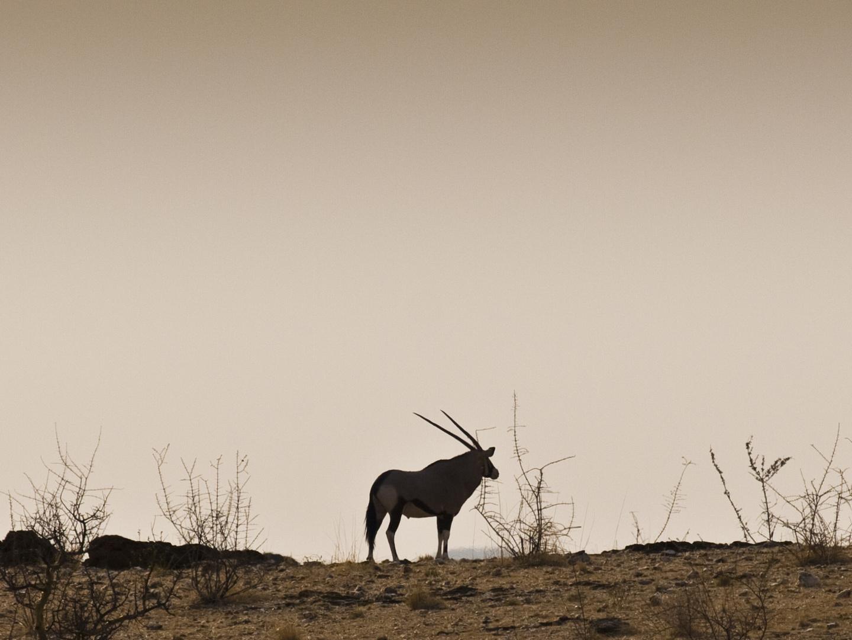 Orix Antilope