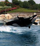 Orka vom Marineland bei Nizza