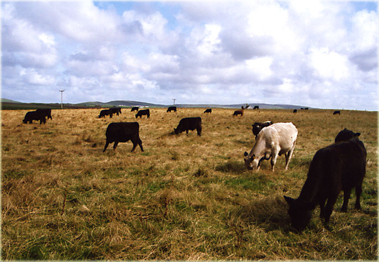 Orkney Cows