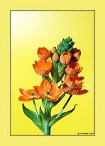 Ornithogalum Dubium - die ganze Blüte