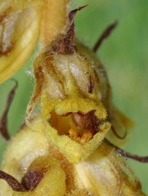 Orobanche gracilis - eine Sommerwurz mal anders