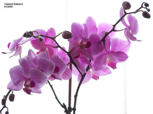 Orquídea a contraluz