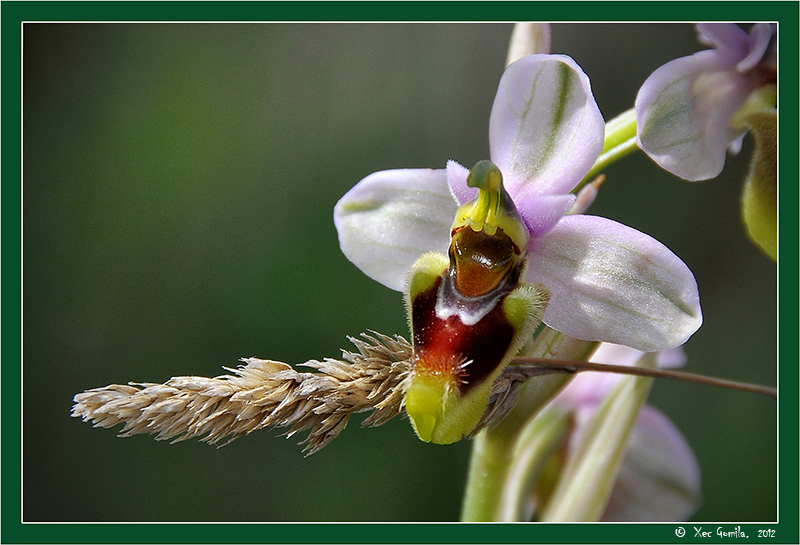 Orquidea (Ophrys tenthredinifera)