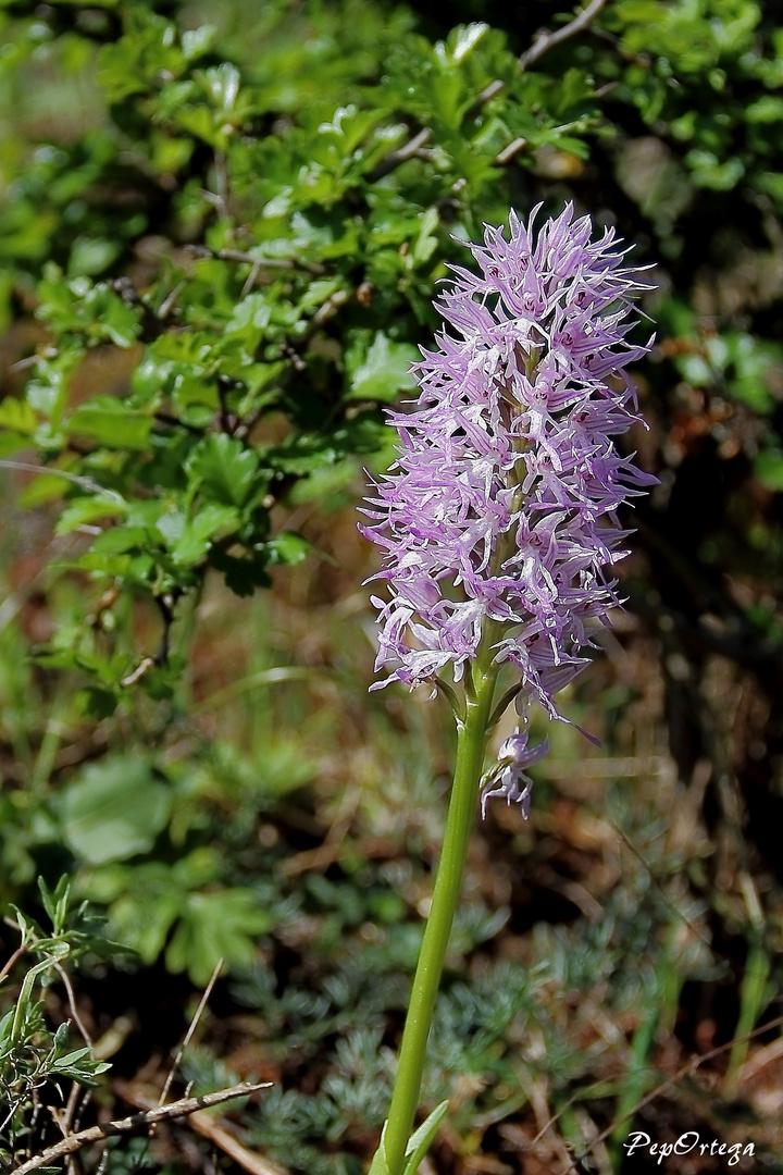 Orquídea Orchis Italica