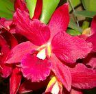 Orquídea Roja