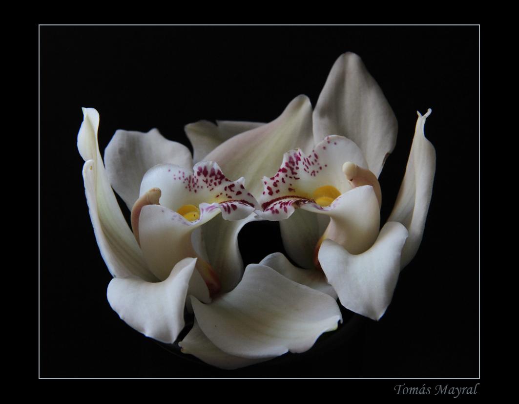 Orquideas Contrapuestas