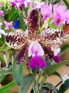 Orquídeas del Mundo Maya