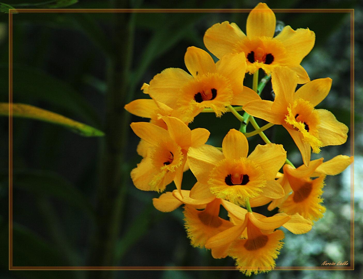 Orquideas douradas