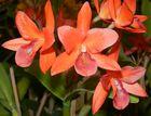 Orquídeas Naranja