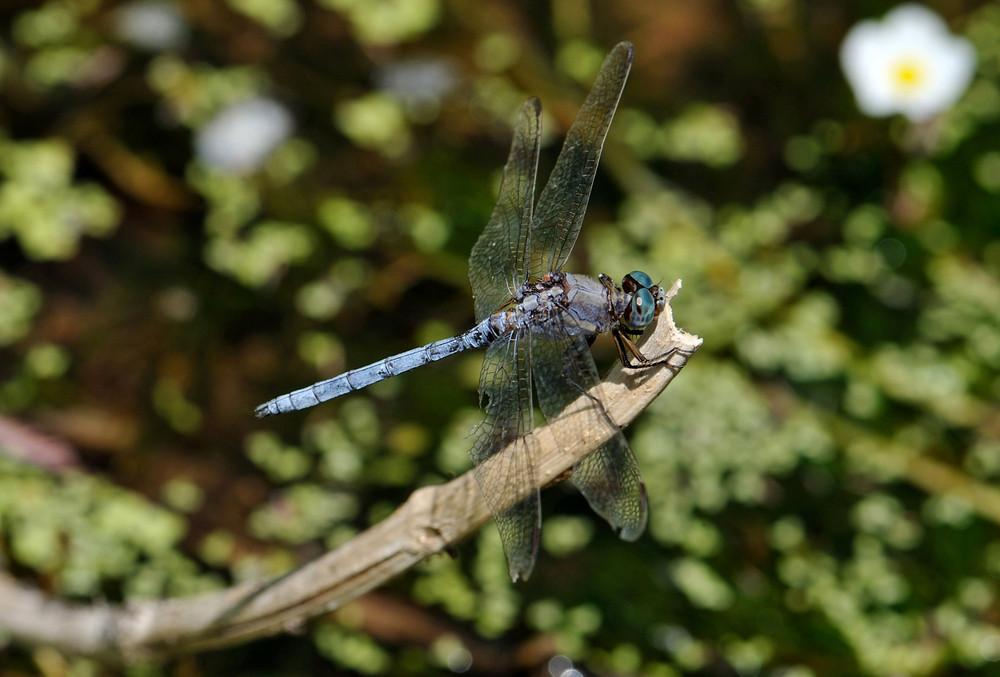 Orthetrum chrysostigma (Epaulet Skimmer)