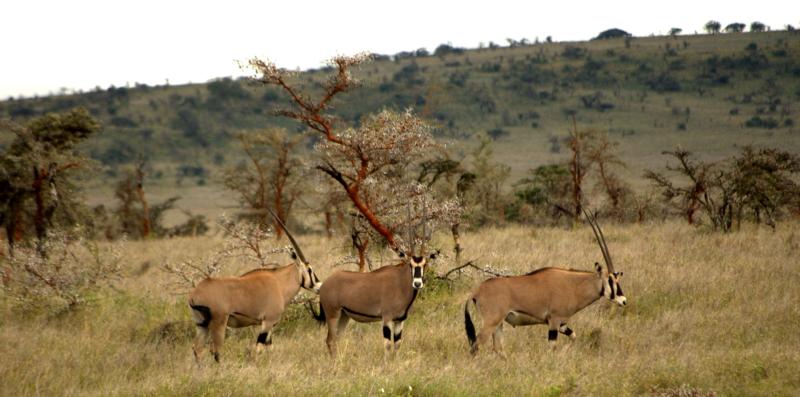 Oryx Antilopen