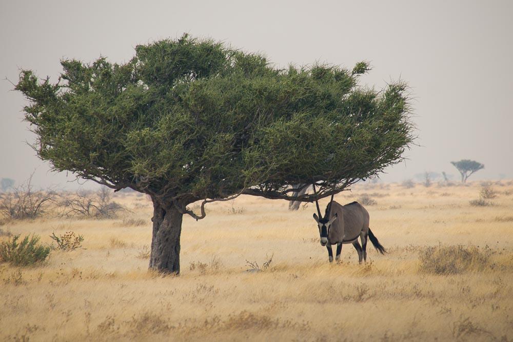 Oryx Baum im Etosha NP Namibia