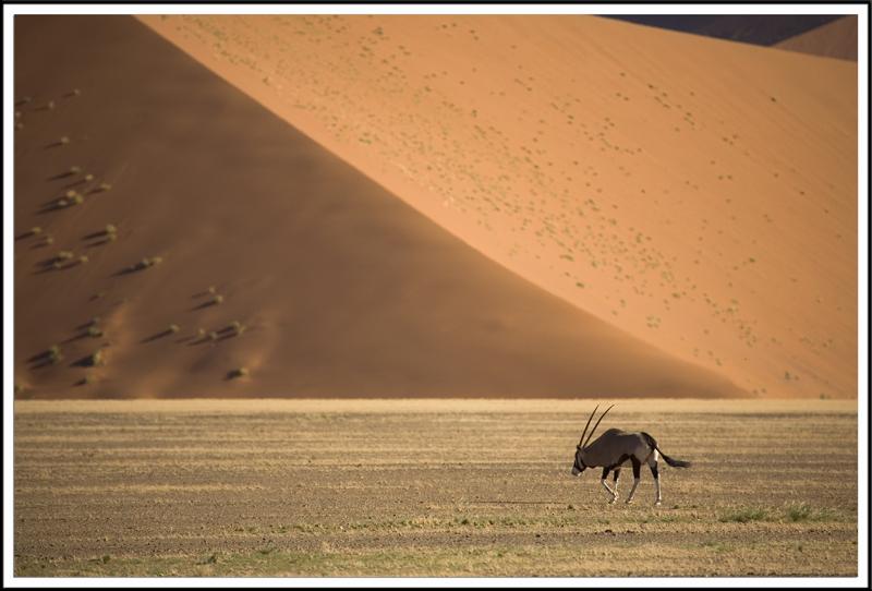 Oryx dans le desert du Namib