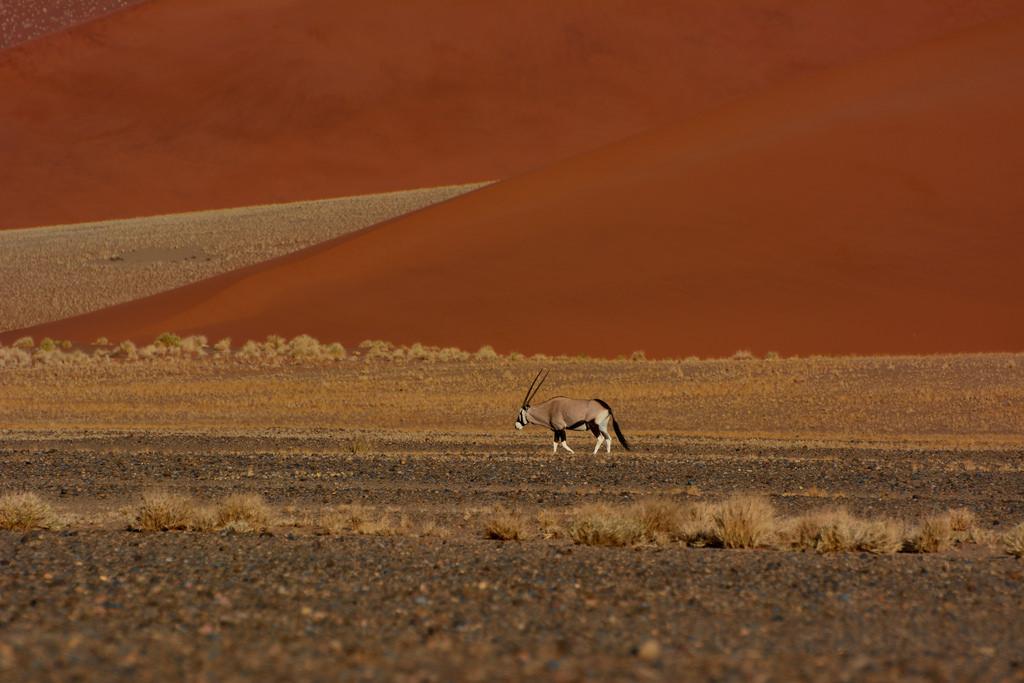 oryx in der namib
