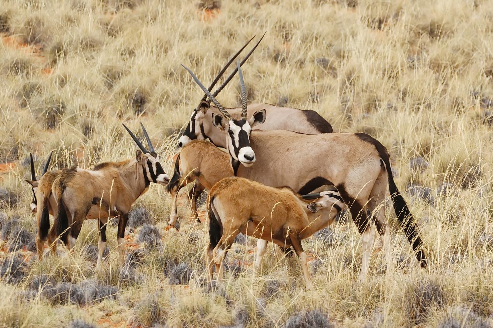 Oryx - Mütter - Herde