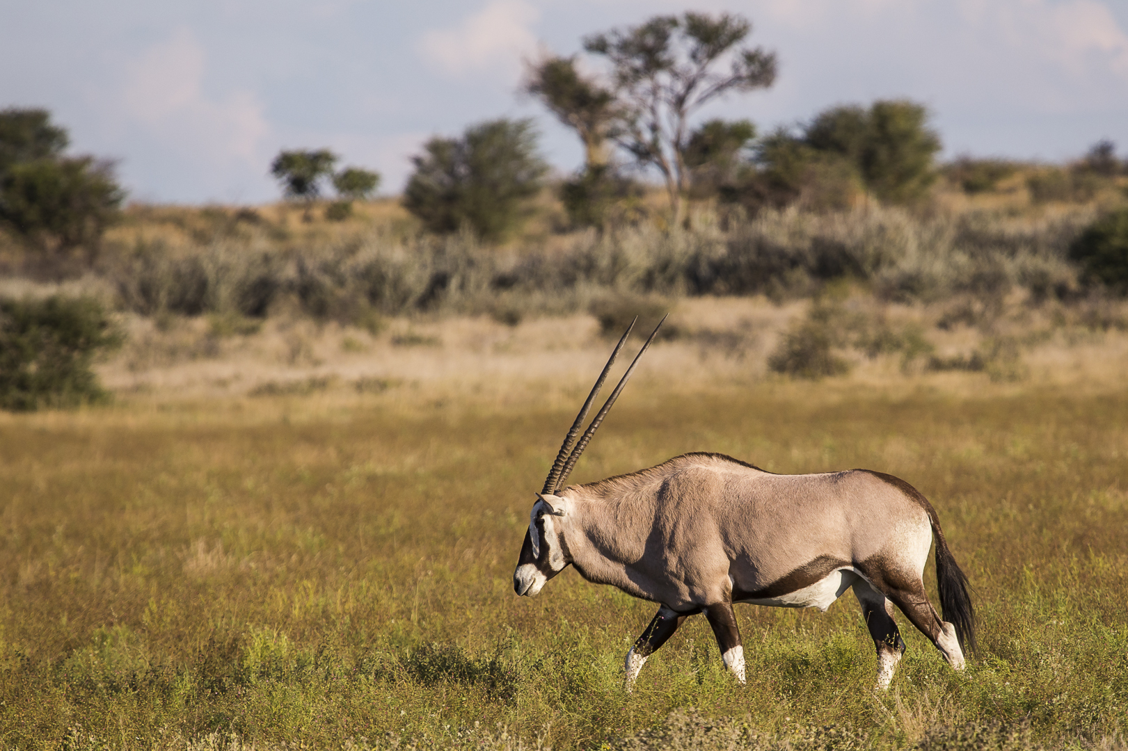 Oryxantilopen
