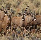 Oryxe - Jungtiere aus der Mütter-Herde