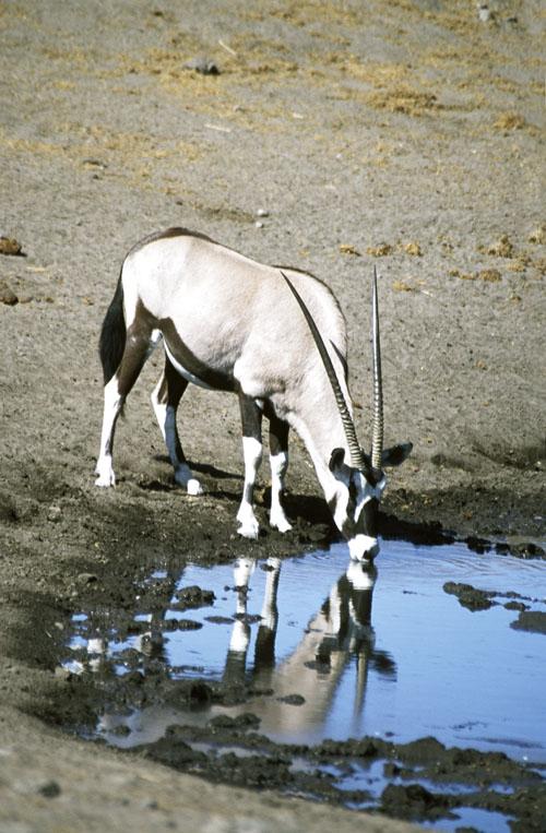 Oryx(Namibia)