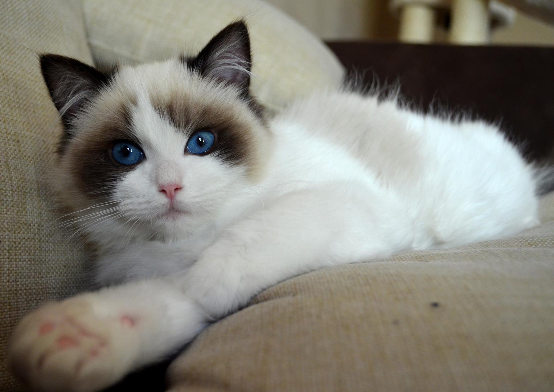 Oskar - Blue Eyed Ragdoll