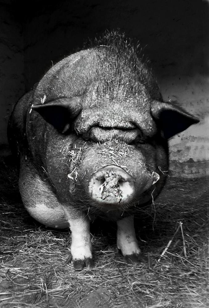 Oskar, das Hausschwein