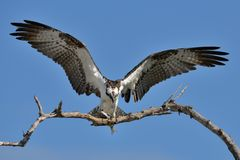 Osprey with Catch / Fischadler mit Beute