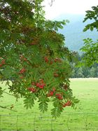 Ossergipfel hinter Vogelbeerbaum