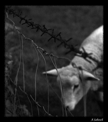 Ost-Schaf