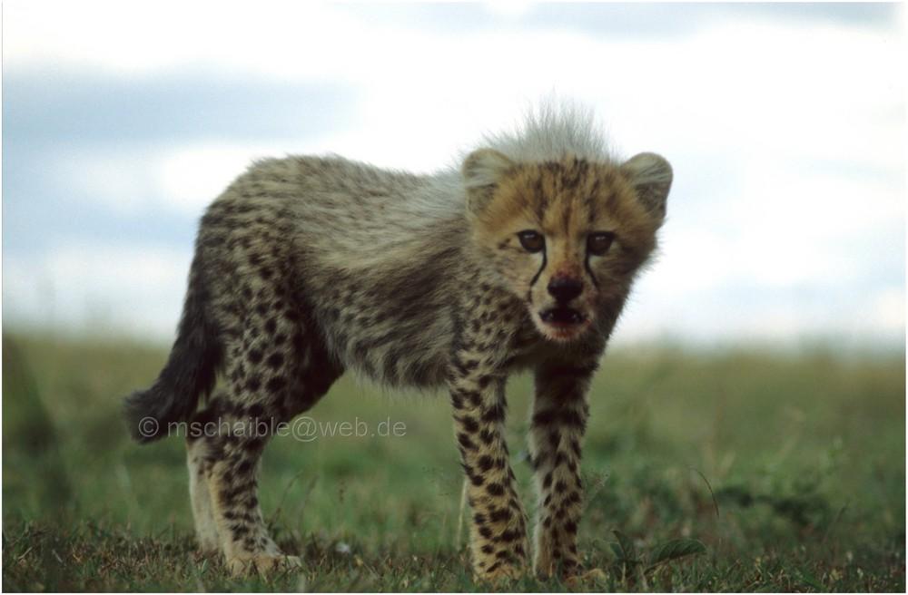 Ostafrika - Kenya - Masai Mara - Gepard 3