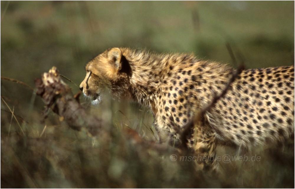 Ostafrika - Kenya - Masai Mara - Gepard