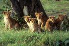 Ostafrika - Kenya - Masai Mara - Löwen