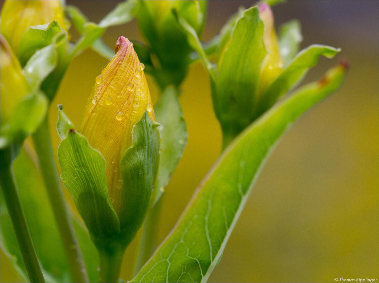 Ostasiatisches Johanniskraut (Hypericum ascyron).