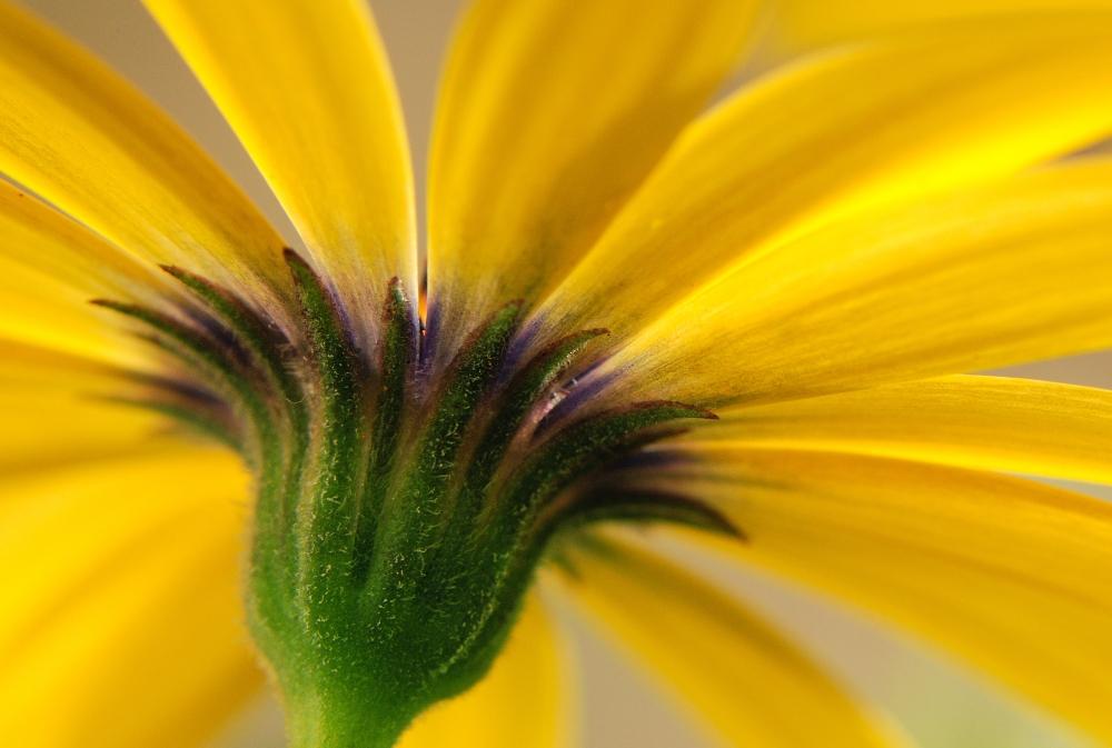 Osteospermum jaune