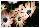 Osteospermum - Margerite