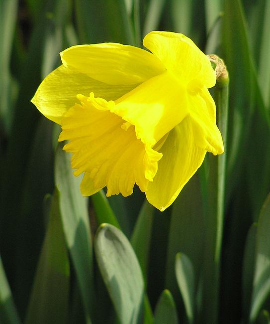 Osterglocke - Auferstehung