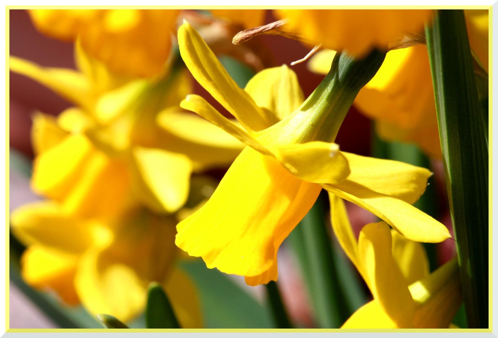 Osterglocken leuchten in der Frühlingssonne