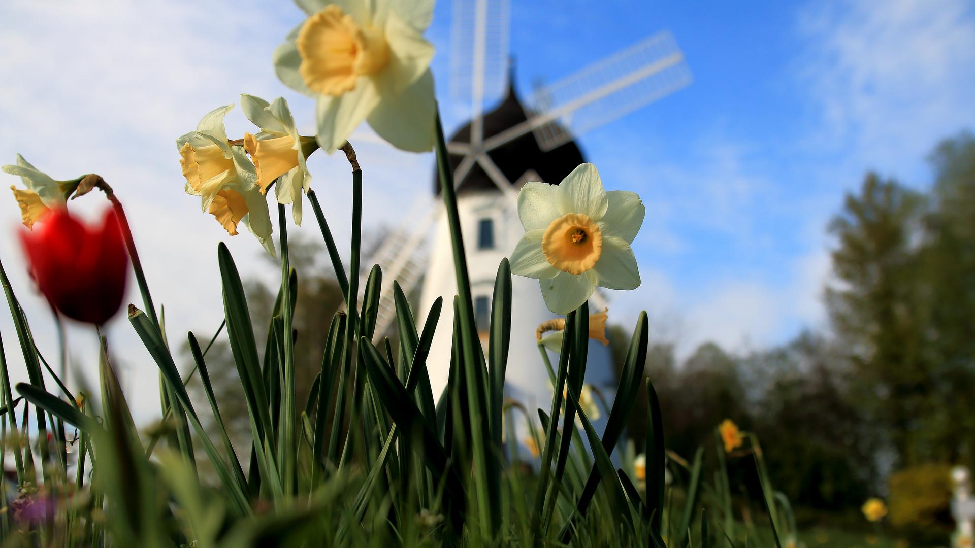 Osterglocken vor Windmühle