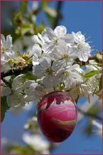 Osterkirschblüte