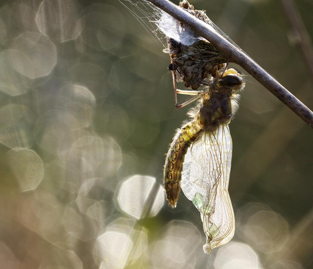 Osterlibelle