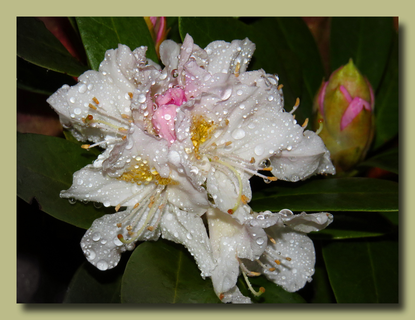 Ostermontag - kleine Rhododendron (habe sie mir reingeholt),