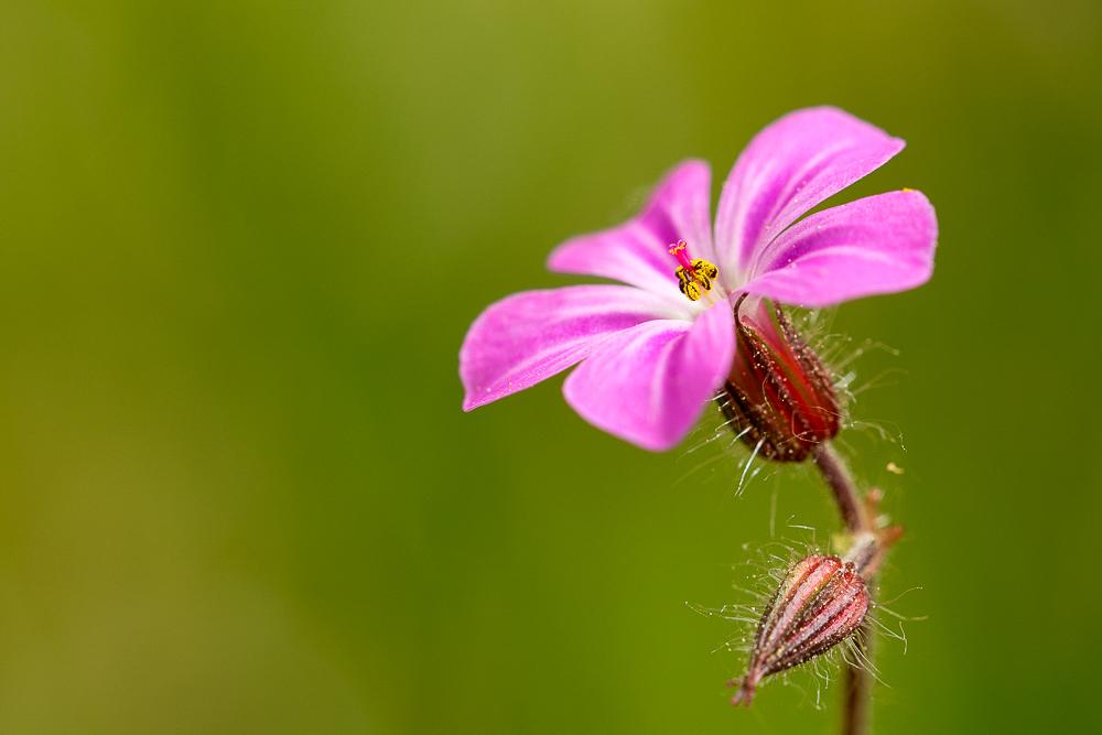 Ostermontagblümchen