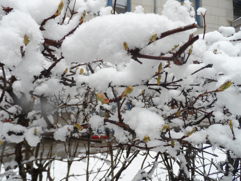 Ostern 2013 Blütenknospen im Schnee