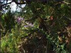 Osteuropäische Arten (3) Die seltene Karstart: Asyneuma canescens (Graue Traubenrapunzel)