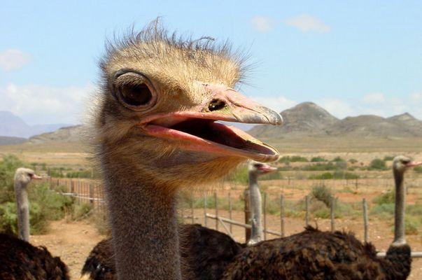 Ostrich, Outshorn, ZA